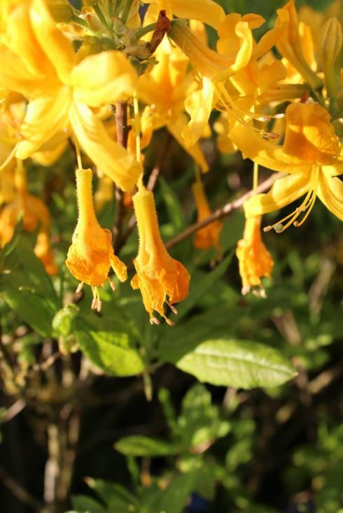 Azalea Luteum