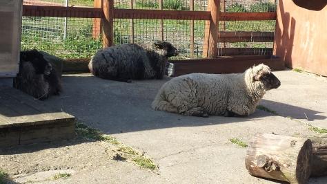 sheep having a rest