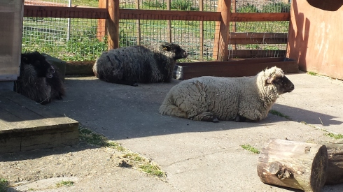 sheep having a rest